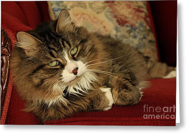 Rescue Cat Living in the Lap of Luxury Greeting Card by Inspired Nature Photography By Shelley Myke