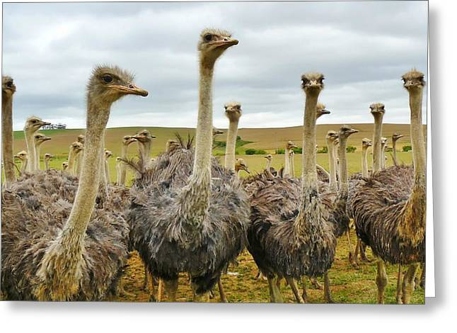 Ostrich Feathers Photographs Greeting Cards - Residents of an Ostrich Farm Greeting Card by Mountain Dreams