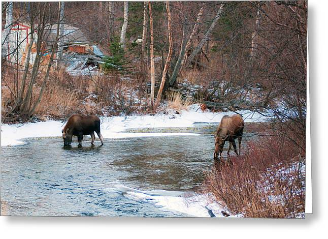 Residential Moose Greeting Card by Ron Day