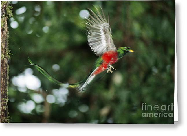 Clouds In Motion Greeting Cards - Resplendent Quetzal Greeting Card by Gregory G. Dimijian, M.D.