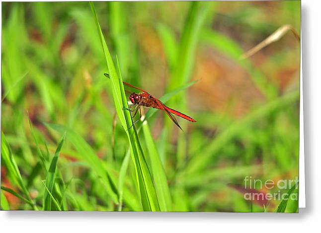 Dragon Fly Photo Greeting Cards - Resplendent Red Greeting Card by Al Powell Photography USA