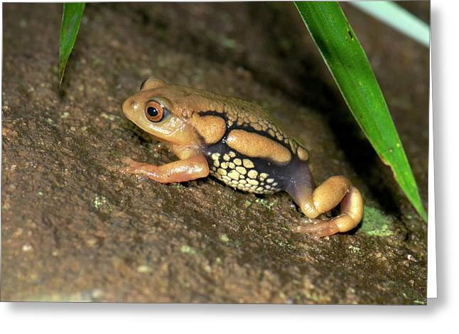 Resplendent Shrubfrog Greeting Card by K Jayaram