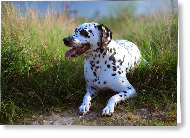 Dalmatian Dog Greeting Cards - Rest in the Grass. Kokkie. Dalmatian Dog Greeting Card by Jenny Rainbow
