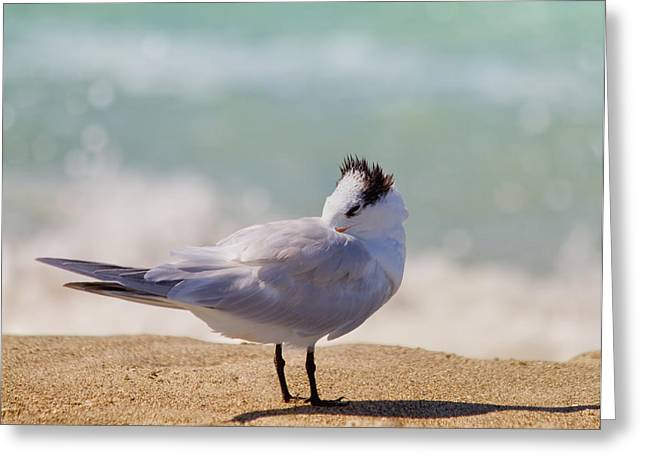 Tern Photographs Greeting Cards - Resting at the Beach Greeting Card by Kim Hojnacki