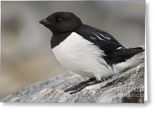 Norwegian Sea Greeting Cards - Resting Dovekie Greeting Card by John Shaw