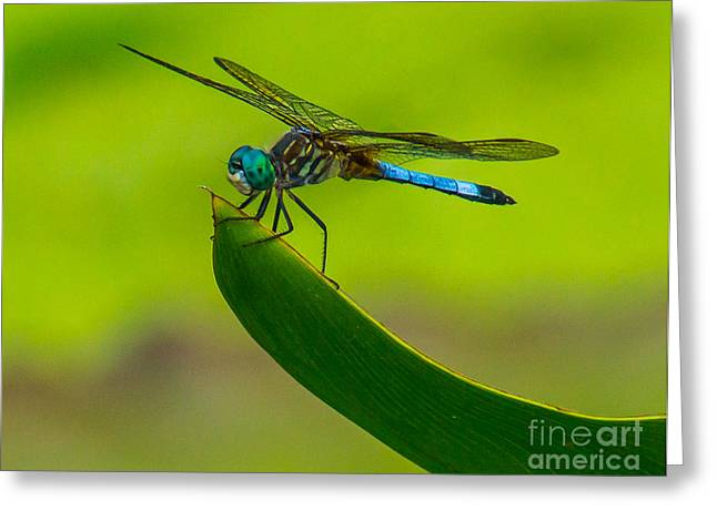 Dragon Flies Photographs Greeting Cards - Resting Dragonfly Greeting Card by Nick Zelinsky