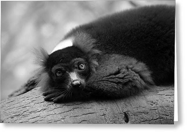Red-ruffed Lemur Greeting Cards - Resting Lemur Greeting Card by Karol  Livote
