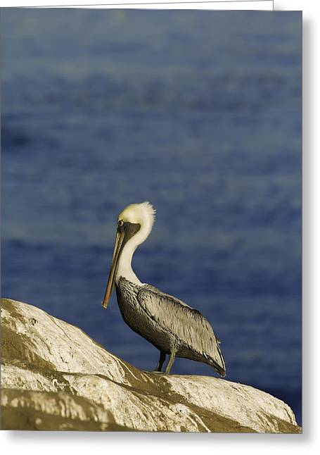 Sea Birds Greeting Cards - Resting Pelican Greeting Card by Sebastian Musial