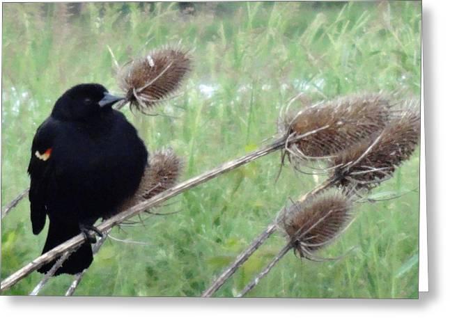 Resting Red-Winged Blackbird  Greeting Card by Lizbeth Bostrom