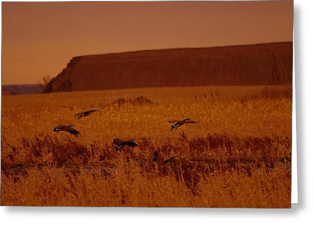 Returning Geese Land In The Little Muddy River Greeting Card by Jeff Swan