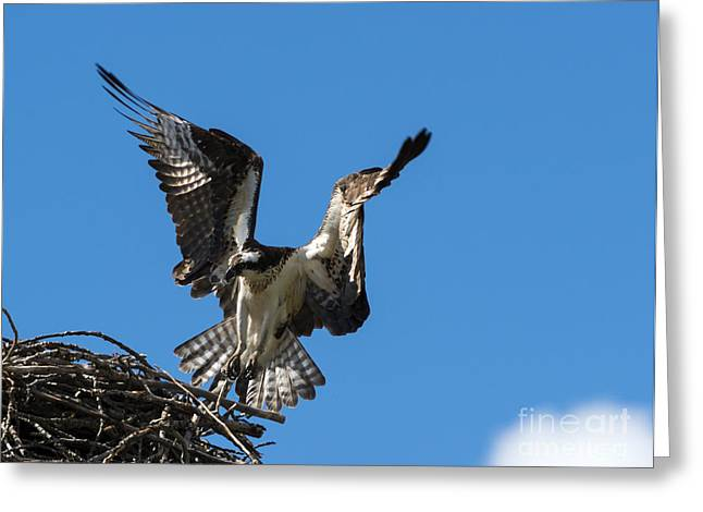 Osprey Photographs Greeting Cards - Returning to the Nest Greeting Card by Mike Dawson