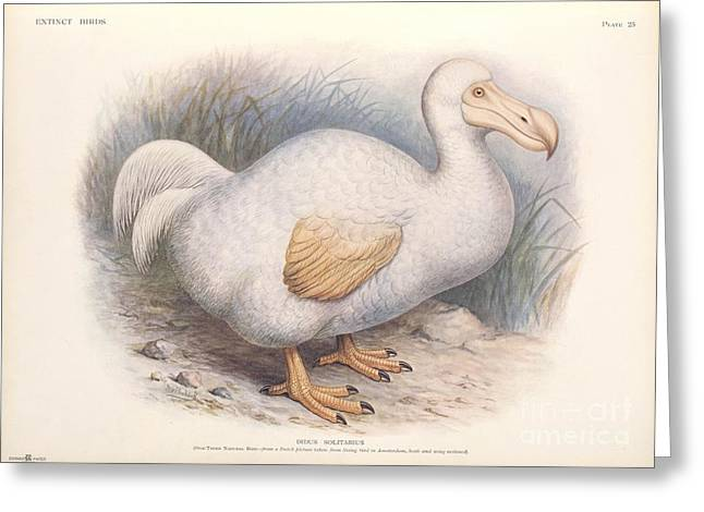 1907 Greeting Cards - Reunion White Dodo, 1907 Artwork Greeting Card by Natural History Museum, London