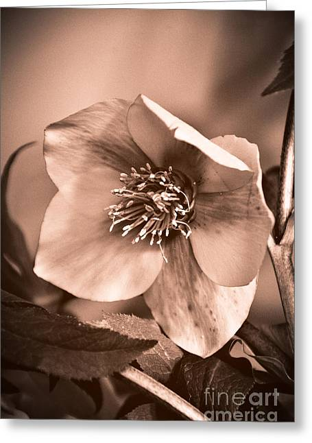 Helleborus Niger Greeting Cards - Revenge Of The Black Hellebore Greeting Card by Anna Wacker