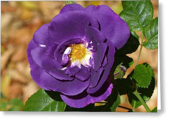 Multiflora Greeting Cards - Rhapsody in Blue Greeting Card by Cindy McDaniel