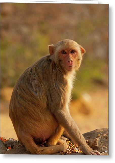Rhesus Monkey, Monkey Temple, Jaipur Greeting Card by Inger Hogstrom