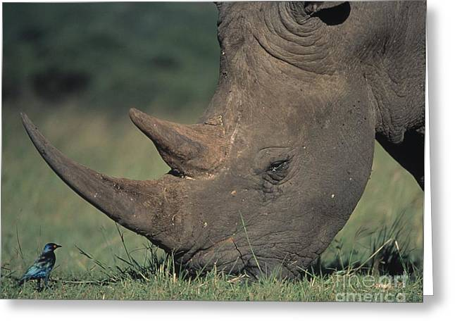 Rhinoceros Greeting Cards - Rhino And Starling Greeting Card by Martin Harvey