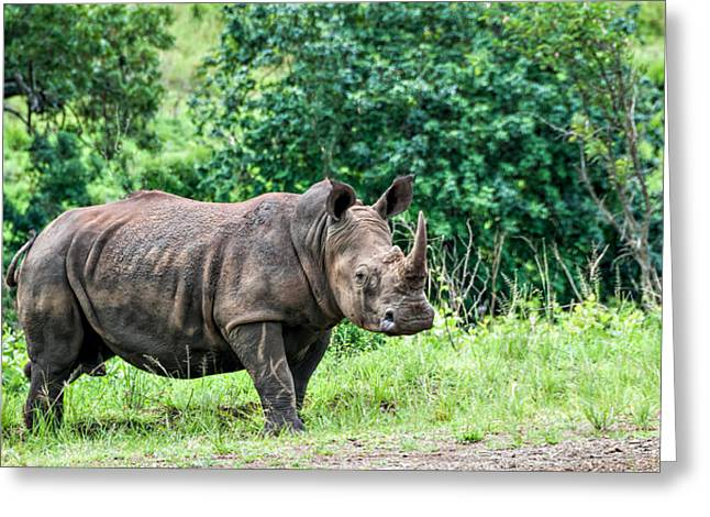 One Horned Rhino Greeting Cards - Rhino Greeting Card by Maria Coulson