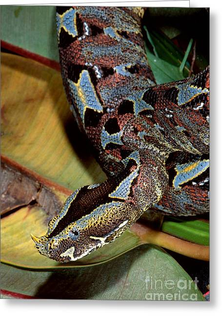 Viper Greeting Cards - Rhino Viper Greeting Card by Gregory G. Dimijian, M.D.