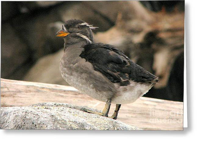 Rhinoceros Auklet Greeting Card by Frank Townsley