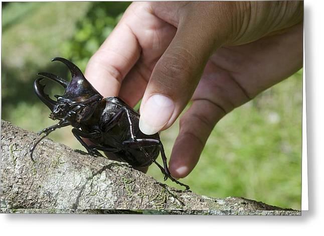 Rhinoceros Greeting Cards - Rhinoceros beetle Greeting Card by Science Photo Library