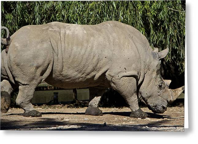 One Horned Rhino Greeting Cards - Rhinoceros Greeting Card by Venetia Featherstone-Witty