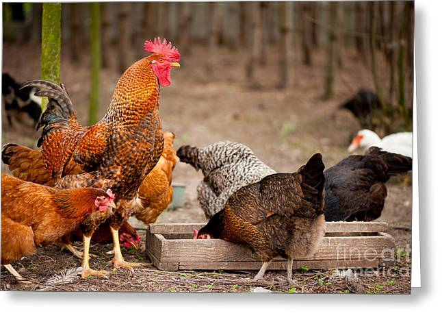 Rhode Island Red Chickens Eating From Feeder  Greeting Card by Arletta Cwalina