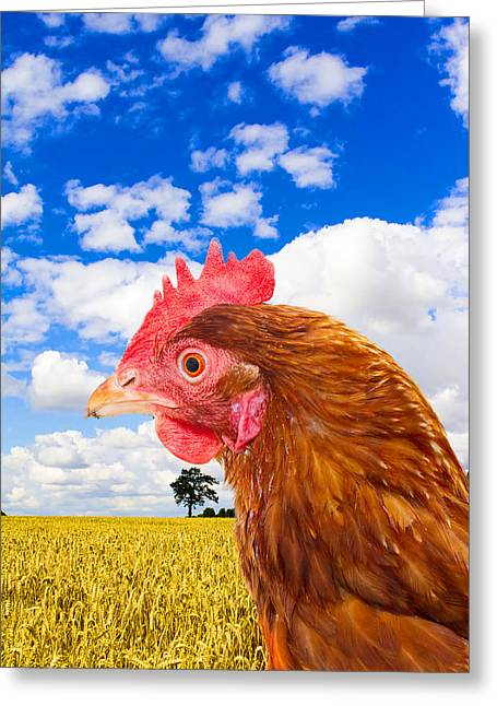 Free Range Hens Greeting Cards - Rhode Island Red Chicken In A Corn Field With A Bright Blue Sky Greeting Card by Fizzy Image