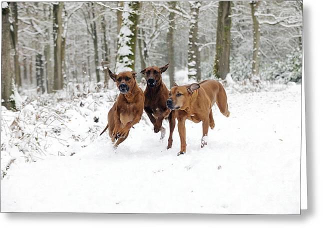 Dog In Snow Greeting Cards - Rhodesian Ridgebacks Running Greeting Card by John Daniels