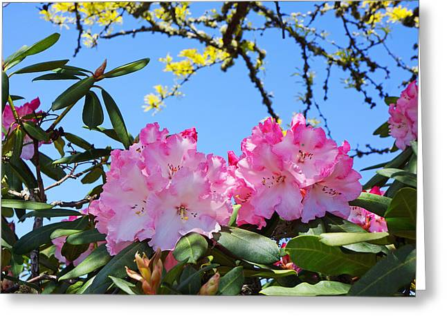 Pink Rhodies Greeting Cards - Rhodies Flowers Art Prints Pink White Rhododendrons Greeting Card by Baslee Troutman