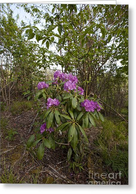 Jonathan Welch Greeting Cards - Rhododendron 2 Greeting Card by Jonathan Welch