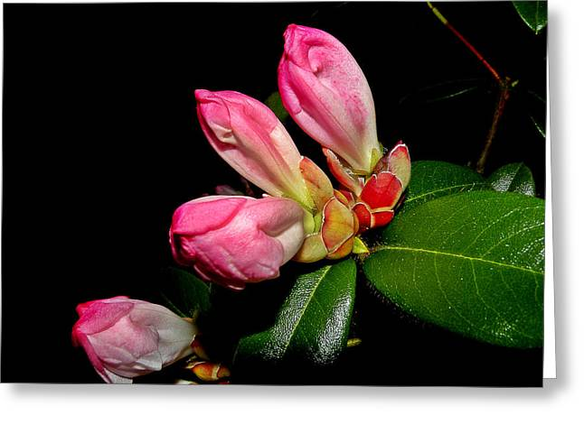 Rhodendron Greeting Cards - Rhododendron Buds Greeting Card by Brian Chase