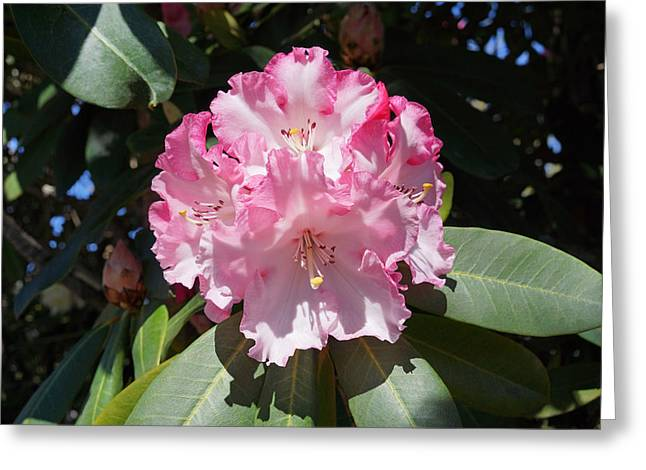 Pink Rhodies Greeting Cards - Rhododendron Flower Garden Art Prints Greeting Card by Baslee Troutman
