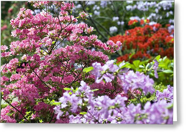 Rhododendron Garden Greeting Card by Frank Tschakert