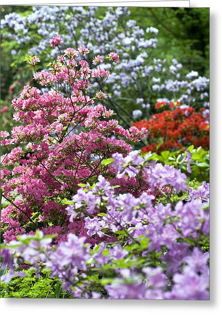 Rhododendrons Greeting Cards - Rhododendron Garden Greeting Card by Frank Tschakert