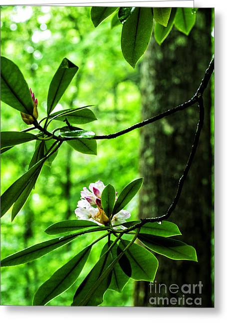 Rhododendron Maximum Greeting Cards - Rhododendron in Bloom Greeting Card by Thomas R Fletcher