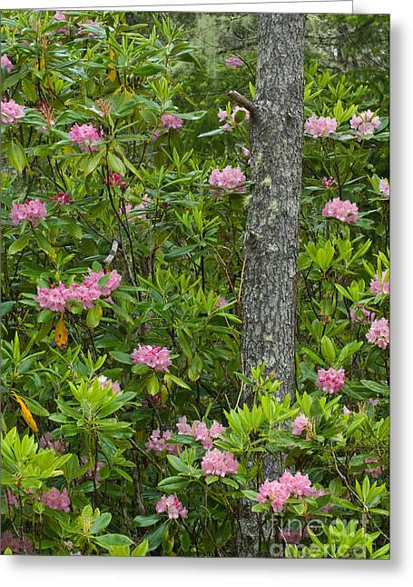 Oregon Dunes National Recreation Area Greeting Cards - Rhododendron Greeting Card by John Shaw