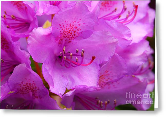 Rhododendrons Greeting Cards - Rhododendron macro Greeting Card by Lutz Baar