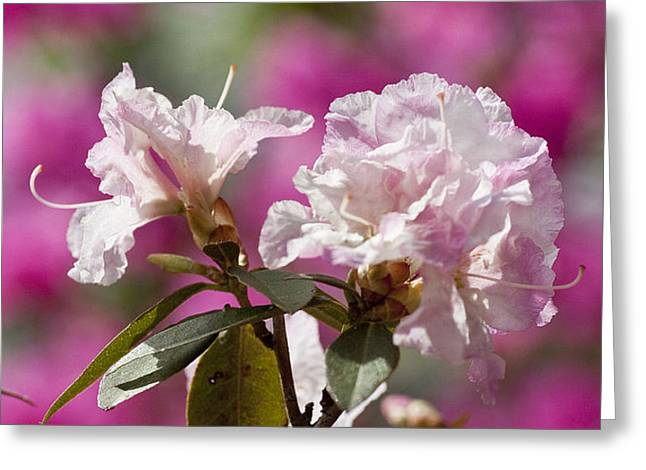 Rhododendron Greeting Card by Steven Ralser