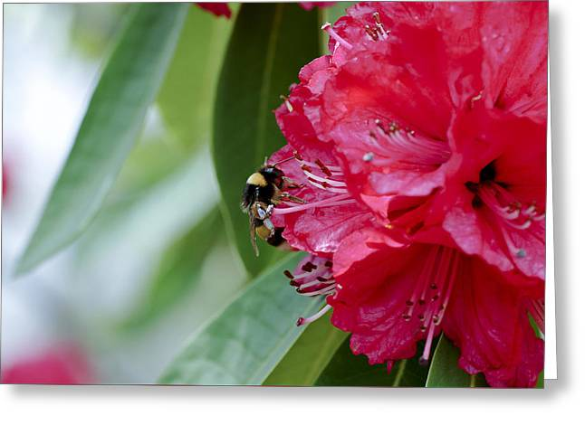 Wild Life Photographs Greeting Cards - Rhododendron With Bumblebee Greeting Card by Frank Tschakert