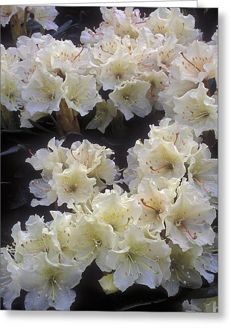 Nature Preserve Greeting Cards - Rhododendrons Greeting Card by Anonymous