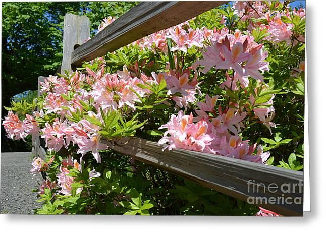 Zaira Dzhaubaeva Greeting Cards - Rhododendrons in Tumwater Falls Park Greeting Card by Zaira Dzhaubaeva
