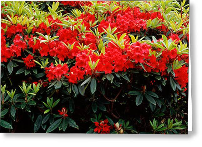 State Parks In Oregon Greeting Cards - Rhododendrons Plants In A Garden, Shore Greeting Card by Panoramic Images
