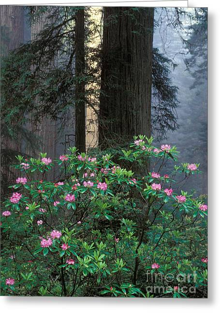Flowers In California Greeting Cards - Rhododendrons Greeting Card by Ron Sanford