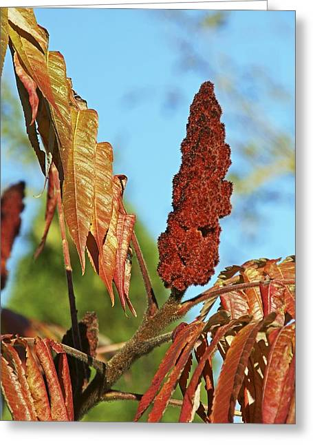Fruiting Greeting Cards - Rhus typhina Greeting Card by Science Photo Library