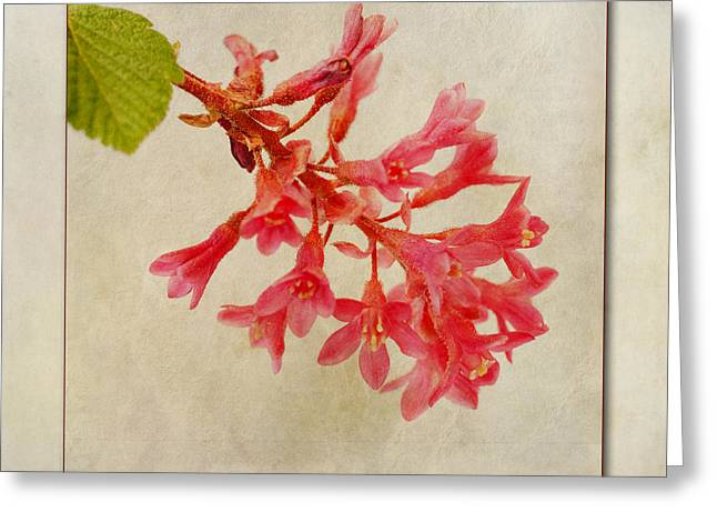 Red Leaves Digital Greeting Cards - Ribes sanguineum  Flowering Currant Greeting Card by John Edwards