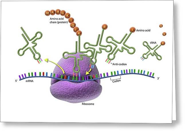 Ribosome And Protein Synthesis Greeting Card by Gunilla Elam