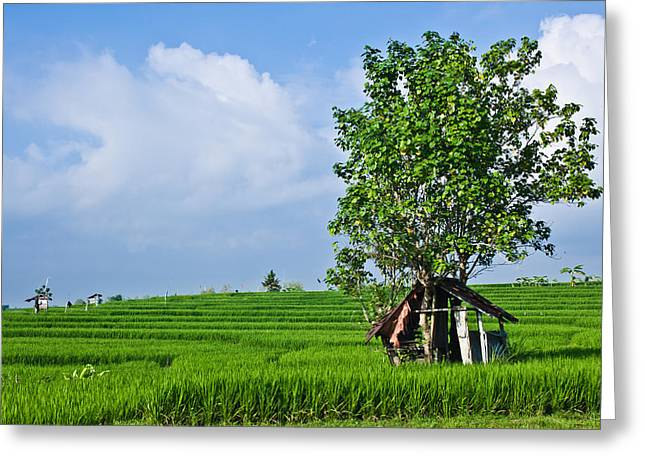 Rice Fields Greeting Card by Nila Newsom