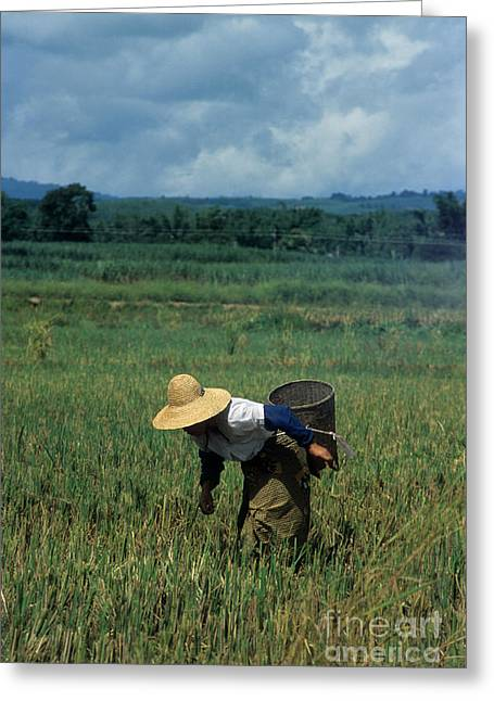 Asian Workers Greeting Cards - Rice harvest Greeting Card by James Brunker