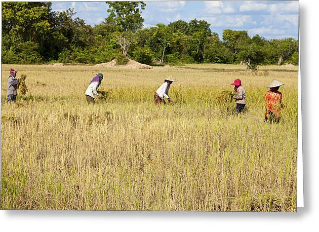 Manual Greeting Cards - Rice harvesting Greeting Card by Alexey Stiop