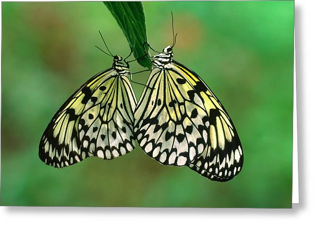 Rice Paper Butterflies Mating Greeting Card by Nigel Downer